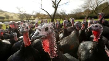 Reino Unido confirma brote de gripe aviar en una granja de pavos
