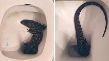 VIDEO: ¡Un gran susto! Joven encuentra lagarto en su inodoro; así lo sacó