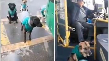 Contratan perros callejeros como acompañantes en transporte público