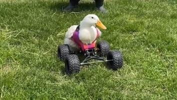 Patita con discapacidad logra caminar gracias a una silla de ruedas todoterreno