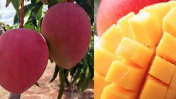 Plantaron un mango sin saber que se harían millonarios