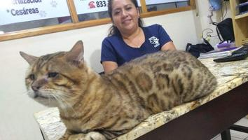 Confunden a gato gigante con un leopardo en un parque; es rescatado